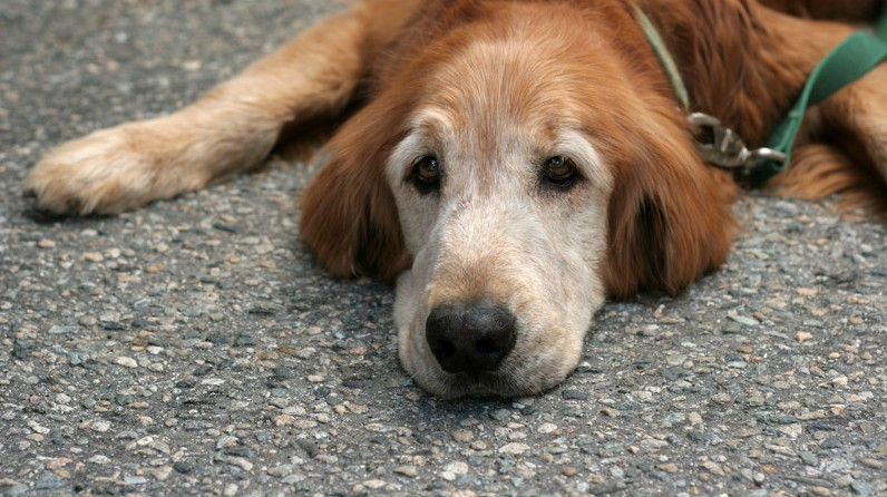 An old golden retriever dog lying down on the pavement.