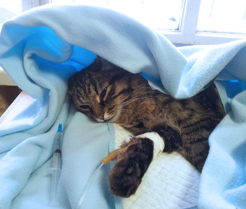 A tabby cat with an IV.