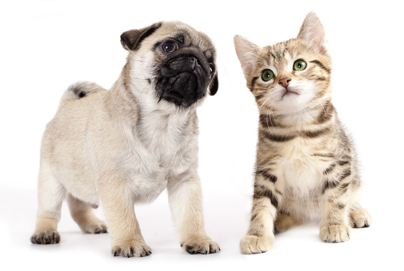 Pug puppy and tabby kitten.